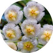 Voskovka (Hoya Lacunosa)